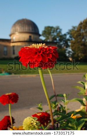Red Zinnia Blooming by Washburn Observatory on Observatory Hill, University of Wisconsin-Madison