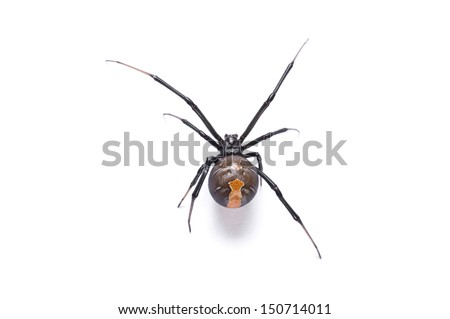Redback spider, Latrodectus hasselti, on white background