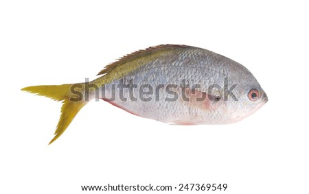 Redbelly yellowtail fusilier fish isolated