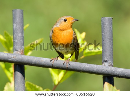 redbreast on the fence - stock photo