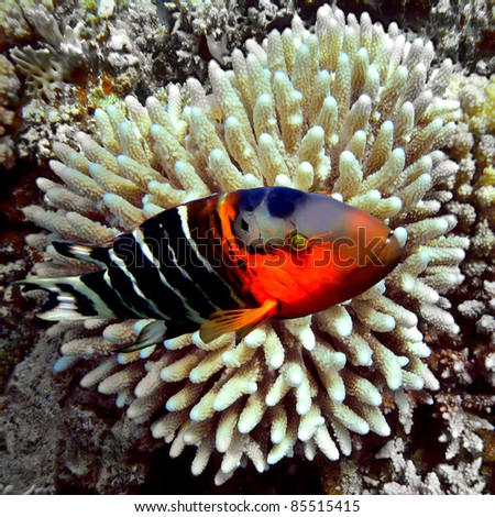 Redbreasted wrasse - stock photo