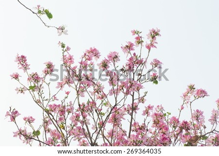 Redbud flowers - stock photo
