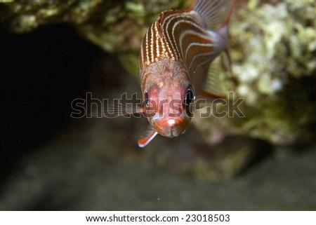 redcoat squirrelfish (sargocentron rubrum) - stock photo