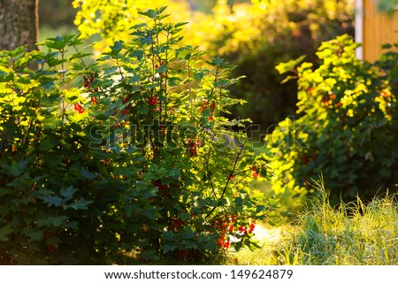 Redcurrant bush backlit during a summer day in a backyard - Ribes Rubrum - stock photo