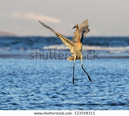Reddish egret (Egretta rufescens) hunting at the ocean coast, Galveston, Texas, USA.