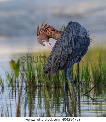 Reddish Egret preening in low water at Fort DeSoto, Florida - stock photo