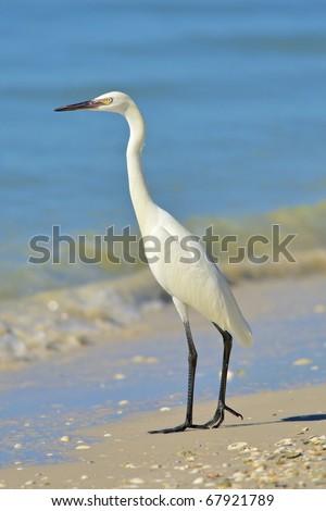 Reddish Egret, White Morph, standing on shore of Gulf of Mexico. Latin name - Egretta rufescens. - stock photo