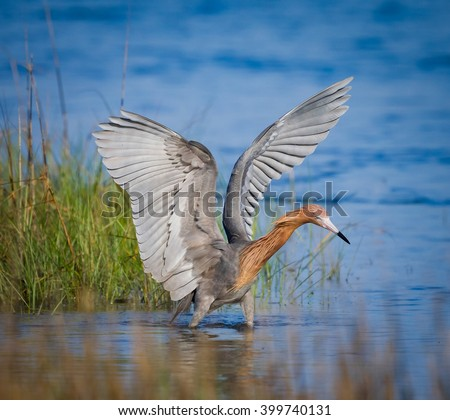 Reddish egret with wings spread fishing - stock photo