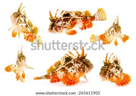 Redfin Velvetfish-Hypodytes rubripinnis, on white background.  - stock photo