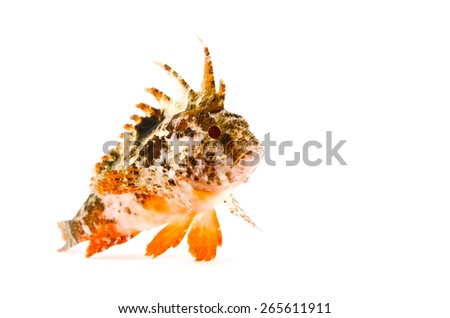 Redfin Velvetfish-Hypodytes rubripinnis, on white background.