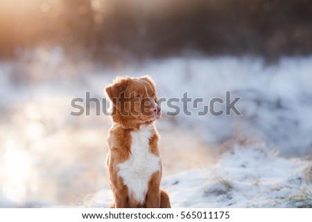 Redhead dog at sunset in winter, river and frost