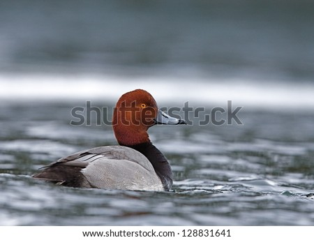 Redhead Duck swimming on water's surface at the confluence of the Columbia River and the Methow River, in Washington State.  Duck hunting the Pacific Northwest Red Head Drake male - stock photo