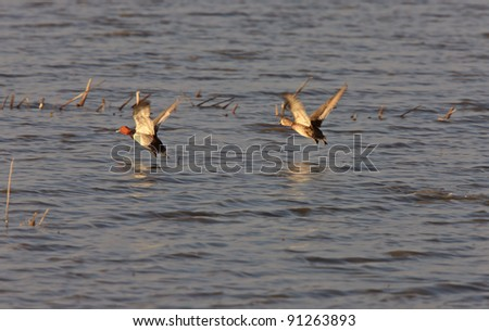 Redhead Ducks in Flight
