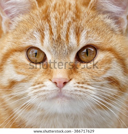 Redhead fluffy kitten face close up. Cat portrait. orange kitten. Cat face background - stock photo