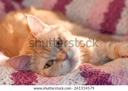 redhead hairy cat is looking right sleepy eyes on a pink blanket - stock photo