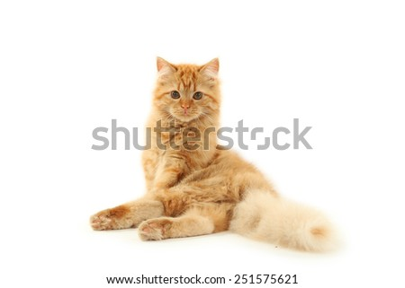Redhead long hair kitten isolated on white