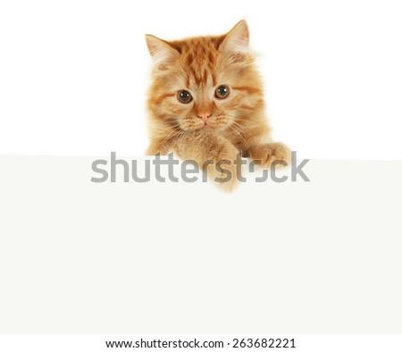 Redhead long hair kitten on white banner - stock photo