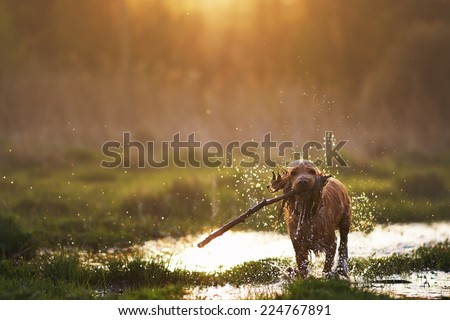 redhead Spaniel dog running with a stick - stock photo