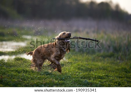 redhead Spaniel dog running with a stick in the grass and puddles - stock photo