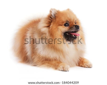 Redhead young Spitz lies on a white background