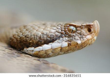 Redi's viper or italian asp (Vipera aspis francisciredi) portrait - stock photo