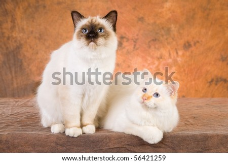 Redpoint and Sealpoint Birman cats on brown background - stock photo
