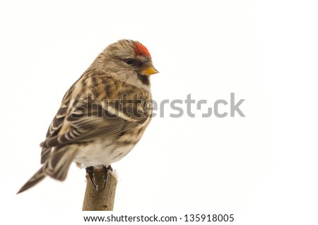 Redpoll (Carduelis flammea) sitting on a twig isolated on white - stock photo