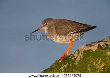 Redshank resting on mossy rock at sunrise