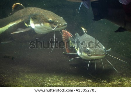 Redtail catfish (Phractocephalus hemioliopterus). Wild life animal.  - stock photo
