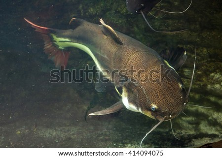 Redtail catfish (Phractocephalus hemioliopterus). Wild life animal.  - stock photo