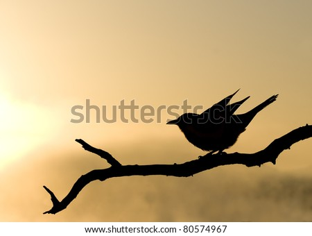 Redwing starling sihlouette during an african sunrise