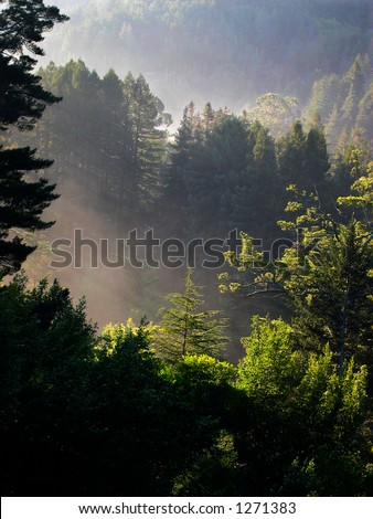 Redwood forest in Mill Valley, California - stock photo