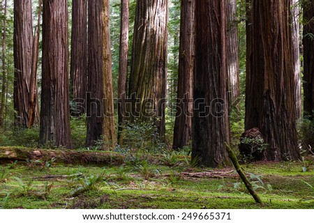 Redwood trees in California's Redwood National Park. - stock photo