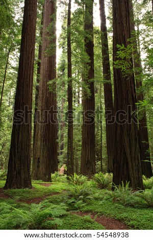 Redwood trees in forest. - stock photo