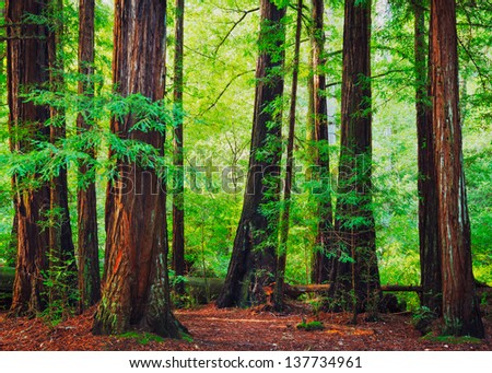 Redwood Trees in Forest, Northwest Rain Forest - stock photo