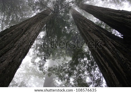 redwood trees, Redwood National Park, California - stock photo
