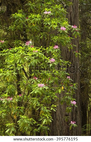 Redwoods and rhododendron