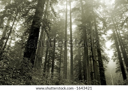 Redwoods in the fog, Lady Bird grove, Redwood national park, California - stock photo