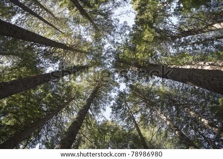 Redwoods reaching for the sky - Rotorua New Zealand - stock photo