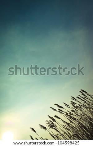 Reed - stock photo
