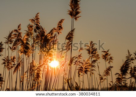 Reed against the sunset. Horizontal view with reed against winter sunset. - stock photo
