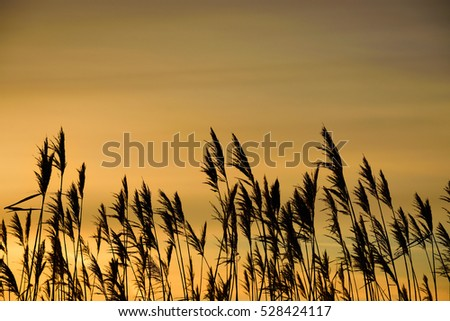 stock-photo-reed-against-the-sunset-ligh