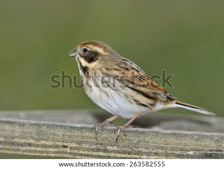 Reed Bunting  - Emberiza schoeniclus