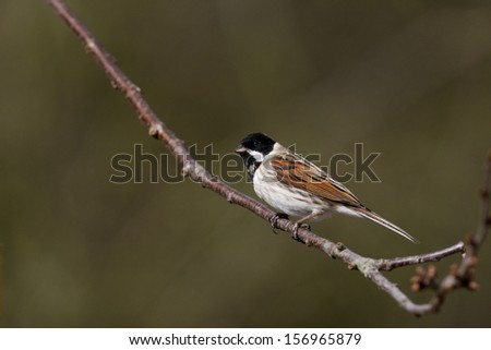 Reed bunting, Emberiza schoeniclus, single male on branch, Midlands