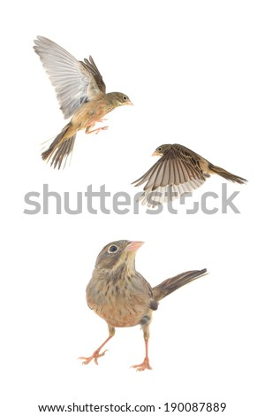 Reed Bunting, in winter plumage (Emberiza schoeniclus) - stock photo