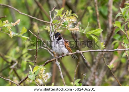 Reed Bunting sitting in a bush in the spring