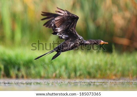 Reed cormorant flying low over water, South Africa