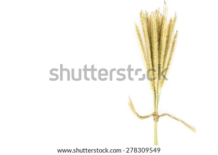 Reed flowers on white background.