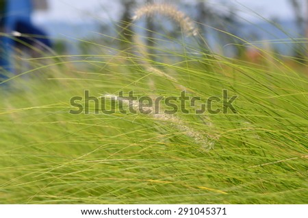 Reed grass with the flowers and the wind blows. - stock photo