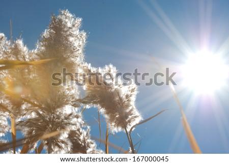 reed in autumn, northwest of China - stock photo